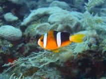 Ψάρι-κλόουν Στοκ εικόνα με δικαίωμα ελεύθερης χρήσης