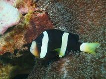 Ψάρι-κλόουν Στοκ φωτογραφία με δικαίωμα ελεύθερης χρήσης