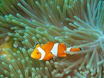 Ψάρι-κλόουν Στοκ Εικόνες