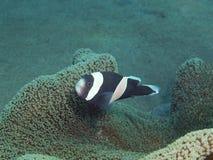 Ψάρι-κλόουν Στοκ εικόνες με δικαίωμα ελεύθερης χρήσης