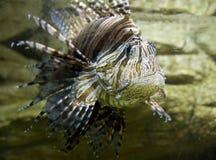 Ψάρι-με ραβδώσεις Στοκ εικόνες με δικαίωμα ελεύθερης χρήσης