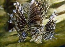 Ψάρι-με ραβδώσεις Στοκ φωτογραφία με δικαίωμα ελεύθερης χρήσης