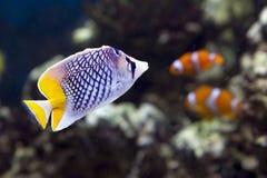 Ψάρι-πεταλούδα Mertens Στοκ φωτογραφίες με δικαίωμα ελεύθερης χρήσης