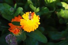 Ψαξίματα μελισσών σε ένα κίτρινο λουλούδι, ένα λουλούδι με μια μέλισσα στο θερινό κήπο στοκ φωτογραφίες με δικαίωμα ελεύθερης χρήσης