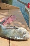 Ψαράς που διακοσμεί ένα μεγάλο ψάρι αδειών με σειρήτι Στοκ Εικόνες