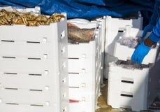 Ψαράς που καθιστά το σωρό των κλουβιών πλήρη των πρόσφατα πιασμένων ψαριών Στοκ Φωτογραφία
