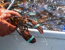 Ψαράς που κρατά έναν αστακό με το κεφάλι και τα νύχια viewable στοκ φωτογραφίες με δικαίωμα ελεύθερης χρήσης
