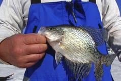 Ψαράς που κρατά μια αλιεία πάγου Crappie στοκ εικόνες