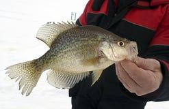 Ψαράς που κρατά μια πιασμένη Crappie αλιεία πάγου στοκ εικόνα