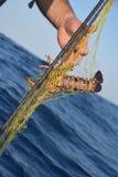 Ψαράς που κρατά τον ακανθωτό αστακό, elephas Palinurus, εύγευστα Στοκ εικόνα με δικαίωμα ελεύθερης χρήσης