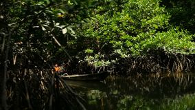 Ψαράς σε μια ξύλινη βάρκα σε ένα δάσος μαγγροβίων απόθεμα βίντεο