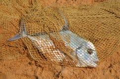 ψαράς s φλέβας Στοκ φωτογραφία με δικαίωμα ελεύθερης χρήσης