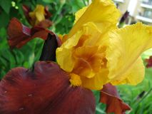 Ψαρευμένη άποψη της κίτρινης και κόκκινης ίριδας Στοκ εικόνες με δικαίωμα ελεύθερης χρήσης