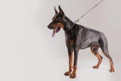 Ψαρευμένη άποψη του σκυλιού προστασίας στο άγρυπνο κράτος Στοκ εικόνα με δικαίωμα ελεύθερης χρήσης