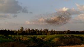 ψαρόνι Κοπάδι των πουλιών - ψαρόνια Καταπληκτικός πυροβολισμός απόθεμα βίντεο