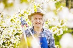 Ψαλίδι ανθών δέντρων κερασιών κηπουρών Στοκ φωτογραφία με δικαίωμα ελεύθερης χρήσης