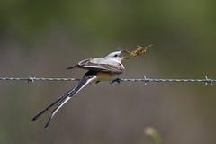 Ψαλίδι-παρακολουθημένο αρσενικό Flycatcher που τρώει μια ακρίδα Στοκ φωτογραφίες με δικαίωμα ελεύθερης χρήσης