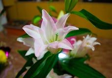 ψαλιδίζοντας απομονωμένο λουλούδι λευκό μονοπατιών κρίνων Στοκ Εικόνα