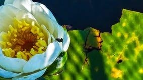 ψαλιδίζοντας απομονωμένο λουλούδι λευκό μονοπατιών κρίνων Στοκ Φωτογραφίες