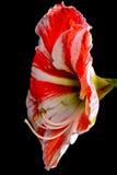 ψαλιδίζοντας απομονωμένο λουλούδι λευκό μονοπατιών κρίνων Στοκ Εικόνες