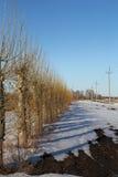 Ψαλιδισμένη λεύκα (δέντρα) την άνοιξη Στοκ φωτογραφίες με δικαίωμα ελεύθερης χρήσης