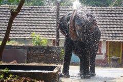 Ψεκάζοντας νερό ελεφάντων στο άδυτο ελεφάντων, Guruvayoor Στοκ Εικόνες