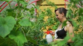 Ψεκάζοντας ντομάτες κηπουρών από τα παράσιτα και τα ζωύφια απόθεμα βίντεο
