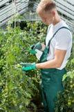 Ψεκάζοντας ντομάτες κηπουρών στο θερμοκήπιο Στοκ Φωτογραφίες