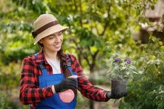 Ψεκάζοντας φυτοφάρμακο ή νερό κηπουρών στα λουλούδια στο δοχείο στοκ φωτογραφία με δικαίωμα ελεύθερης χρήσης