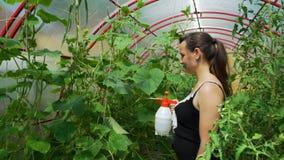 Ψεκάζοντας φυτοφάρμακο γυναικών στο φύλλο των τοματιών απόθεμα βίντεο