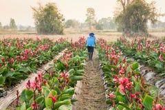 Ψεκάζοντας φυτοφάρμακο καλλιεργητών στο χώρισμα Canna στο ηλιοβασίλεμα στοκ φωτογραφίες