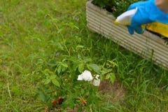 Ψεκασμός φυτοφαρμάκων Στοκ Φωτογραφία