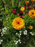 Ψεκασμός marigolds στον αγγλικό κήπο χωρών στοκ εικόνες