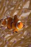 ψεύτικα ψάρια κλόουν Στοκ εικόνα με δικαίωμα ελεύθερης χρήσης