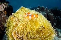 Ψεύτικα Clownfish και Anemone σε Raja Ampat Στοκ Εικόνες