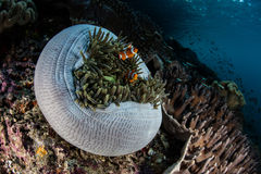 Ψεύτικα Clownfish και Anemone σε Raja Ampat Στοκ φωτογραφία με δικαίωμα ελεύθερης χρήσης
