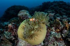 Ψεύτικα Clownfish και Anemone σε Raja Ampat Στοκ Φωτογραφία