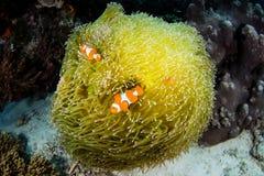 Ψεύτικα Clownfish και Anemone στην Ινδονησία Στοκ Εικόνες