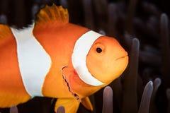Ψεύτικα Clownfish και Anemone στην Ινδονησία Στοκ φωτογραφίες με δικαίωμα ελεύθερης χρήσης