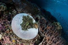 Ψεύτικα Clownfish και Anemone στο σκόπελο Στοκ Εικόνα