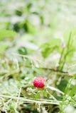 Ψεύτικη φράουλα Στοκ Φωτογραφία