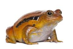 Ψεύτικος βάτραχος ντοματών, guineti Dyscophus στοκ φωτογραφίες