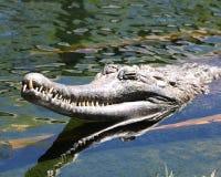 Ψεύτικος κροκόδειλος Gharial Στοκ εικόνα με δικαίωμα ελεύθερης χρήσης
