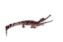 Ψεύτικος ο gharial, schlegelii Tomistoma, στο λευκό στοκ εικόνα