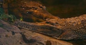 Ψεύτικος gharial ή Malayan gharial, Sunda gharial ή Tomistoma απόθεμα βίντεο