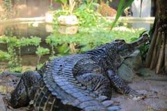 Ψεύτικος gharial στοκ φωτογραφία με δικαίωμα ελεύθερης χρήσης
