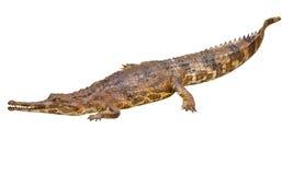 Ψεύτικος gharial (schlegelii Tomistoma) στοκ φωτογραφία με δικαίωμα ελεύθερης χρήσης