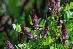 Ψεύτικο λουλάκι Μπους Fruticosa Amorpha Μικρές πορφυρές ανθίσεις στοκ εικόνες