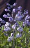 ψεύτικο λουλάκι Στοκ Φωτογραφίες