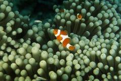 Ψεύτικο Anemonefish, νησί Perhentian, Terengganu Στοκ φωτογραφίες με δικαίωμα ελεύθερης χρήσης